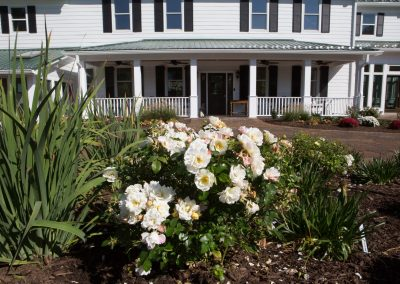 Old fashioned white roses in landscaping and planting in Maryland by Frederick Landscaping