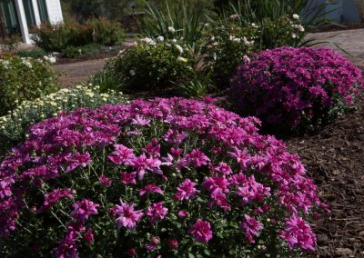 Colorful mums in landscaping and planting in Maryland by Frederick Landscaping